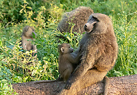 A female Olive Baboon, Papio anubis, holds her baby in Lake Nakuru National Park, Kenya