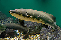 Australian Lungfish, Neoceratodus forsteri, a living fossil - a very ancient fish with the ability to breath with gills or by gulping air, lives to over 70 years (c)