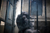 CHINA. Hubei Province. Wuhan. A chimpanzee in an enclosure in Wuhan zoo. In many of China's 'second-tier' cities, away from the modern zoos in the megacities of Beijing and Shanghai, hide a plethora of smaller unknown zoos. In these zoos, what can only be described as animal abuse is subtly taking place in the form of deprivation of light, space, sanitation and social contact with other animals. Living in awful conditions, these animals spend there days entertaining tourists who seem oblivious to the animals' plight and squalid existence. 2008.