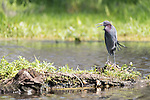 Damon, Texas; a little blue heron standing on a small island in the slough while foraging for food