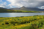 Ireland, County Kerry, The Dingle Peninsula: View over yellow Buttercups to Brandon Bay and Beenoskee Mountain | Irland, County Kerry, The Dingle Peninsula: Blick ueber Brandon Bay zum Beenoskee Mountain
