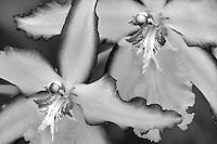 Beallara Smile Eri orchid. Al's Nursery, Woodburn, Oregon