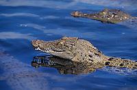 """Océanie/Australie/Queensland/Cairns: Crocodiles à """"The Crocodile Farm"""""""