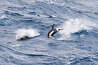 Hourglass Dolphin, Lagenorhynchus cruciger, Male Dolphin breaching at great speed, Drake Passage, Southern Ocean Males of this species can be identified by the huge hooked dorsal fin and post-anal keel.