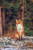 Red fox portrait, Katmai National Park, Alaska