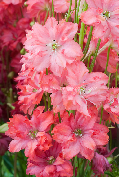 Delphinium 'Princess Caroline' with pink flowers, named for Princess of Monaco