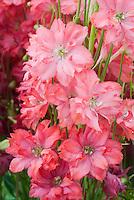 Delphinium 'Princess Caroline' with pink flowers, named for Princess of Monaco