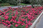 PINK FLOWER CARPET ROSE BUSHES, ROSA HYBRID, MODERN SHRUB