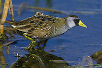 Sora wading through some shallow water in a marsh