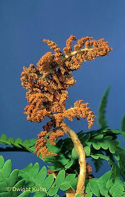 FE06-005c  Fern - separate sori structure,  sporophyte among fern leaves