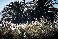 Eight Snowy egrets perch on palm fronds over golden Pampas grass adorned with a Common grackle and other, smaller birds at the San Lorenzo Park, known as the Duck Pond.