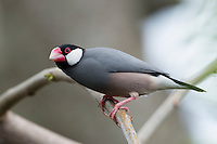 A cute java sparrow on O'ahu; these birds are an introduced species to the Hawai'i.