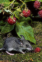 MU50-004z   Deer Mouse - young adult eating raspberries - Peromyscus maniculatus