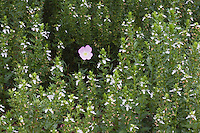 Showy Primrose (Oenothera speciosa) among Pink Mint (Stachys drummondii), Rio Grande Valley,Texas, USA