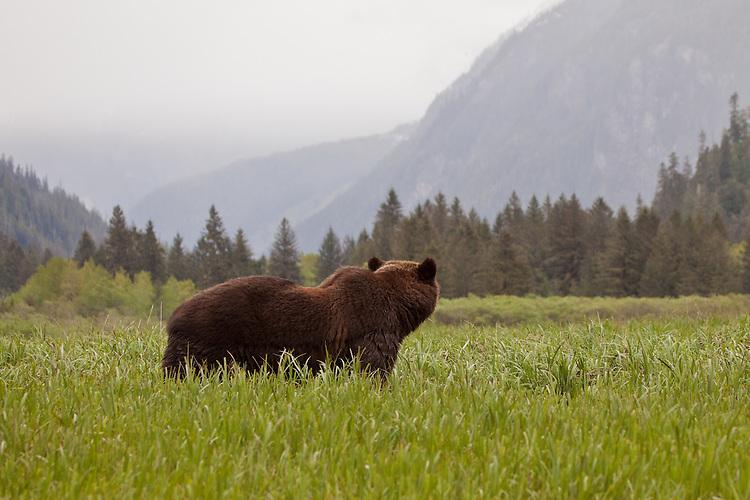 Grizzly Bear looking down the Khutzeymatten Valley