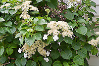 Hydrangea anomala ssp. petiolaris climbing vine in bloom