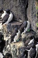 Common murres with eggs, St. Paul Island, Pribilof Islands, Alaska.