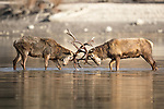 Deers lock antlers as they battle on a lake by Massimo Petrarca