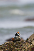 Harlequin Duck (Histrionicus histrionicus) Drake along Pacific NW Coast.