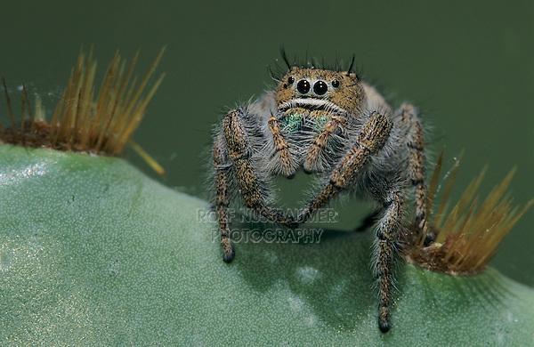 Jumping Spider, Salticidae, adult on Texas Prickly Pear Cactus (Opuntia lindheimeri) , Lake Corpus Christi, Texas, USA