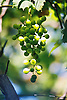 unripe green wine grapes<br /> <br /> uvas verdes<br /> <br /> unreife grüne Trauben<br /> <br /> 1840 x 1232 px<br /> 150 dpi: 31,16 x 20,86 cm<br /> 300 dpi: 15,58 x 10,43 cm<br /> Original: 35 mm