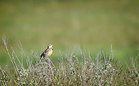Western Meadowlark (Sturnella neglecta) calling, The Black Hills, South Dakota.  The Western Meadowlark is the state bird of Kansas, Montana, Nebraska, North Dakota, Oregon and Wyoming.  NOT South Dakota, but there were plenty of them in the hills when we visited.  You usually hear these birds (they have a beautiful call) before seeing them.