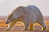 polar bear, Ursus maritimus, mother walking, Barter Island, Arctic National Wildlife Refuge, Alaska, polar bear, Ursus maritimus