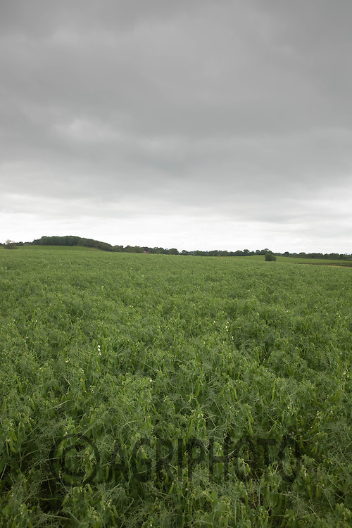 24-6-2021 Combing peas <br /> ©Tim Scrivener Photographer 07850 303986<br />      ....Covering Agriculture In The UK....