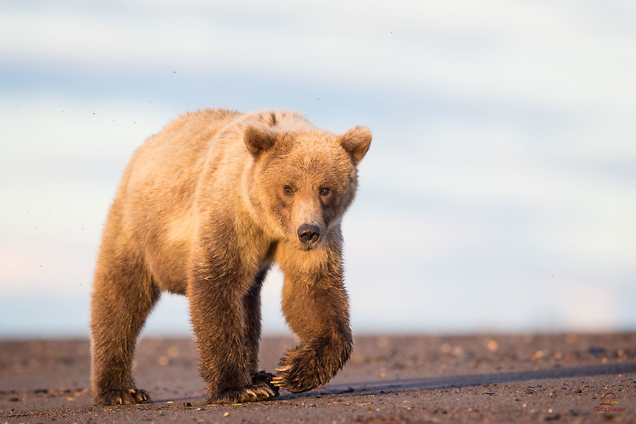 Coastal Brown Bear cub, almost three years old, seems to be confirming that we are not a threat.  Coming eye level with a Brown Bear, even one this size, can take your breath away (figuratively).  Telephoto lens, so we were not in any danger here, and left him plenty of space.