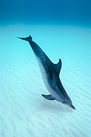 Atlantic Spotted dolphin, Stenella frontalis, Caribbean, Bahamas, Little Bahama Bank, Wild Atlantic Spotted Dolphin hunting in the sand, Bahamas, Mammal