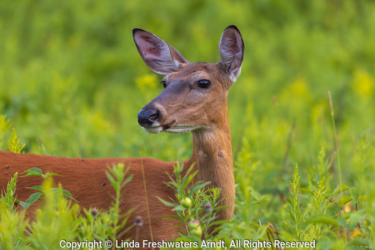 Portrait of a white-tailed doe in a northern Wisconsin meadow.