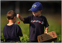 Two brothers pick strawberries from Patterson Farm, near Mooresville, NC. Model released.