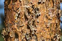 Wald-Kiefer, Waldkiefer, Gemeine Kiefer, Kiefer, Kiefern, Föhre, Rinde eines jungen Baumes, Borke, Stamm, Baumstamm, Pinus sylvestris, Scots Pine, Pine, bark, rind, trunk, stem, Pines, Le Pin sylvestre