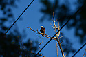 American Bald Eagle, sighted soaring through the air on the edge of the Everglades