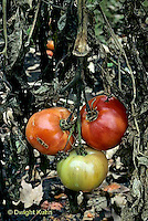 HS09-006b  Tomato - severely infested plant with  early blight fungus disease