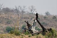 African Fish Eagle,Haliaeetus vocifer, Chobe River, Chobe National Park, Botswana, Africa