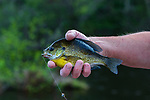 Bluegill caught on the Chippewa Flowage in northern Wisconsin.