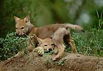 Gray wolf pups, Montana