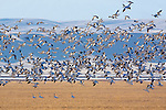 Snow Geese flying to the grain fields during a stop at Freezeout Wildlife Refuge in Montana on their spring migration north