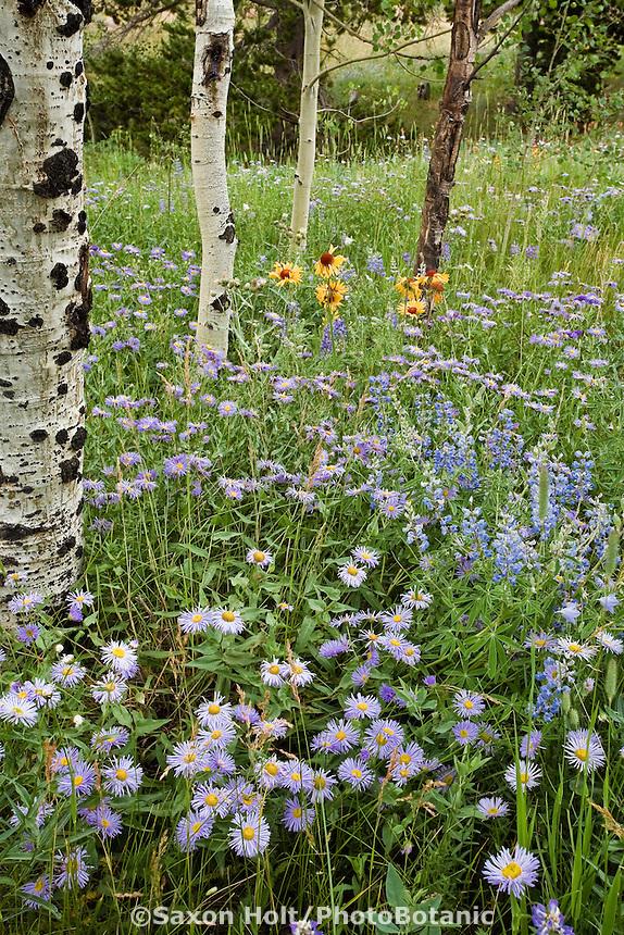 Erigeron speciosus macranthus, Aspen Daisy, Showy Fleabane, Lupinus argenteus silvery lupine meadow wildflowers in forest opening, Rocky Mountain National Park Colorado