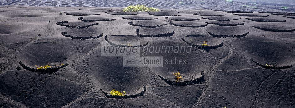 Europe/Espagne/Canaries/Lanzarote : Paysage volcanique de la Geria- le vignoble  avec les pieds de vigne blotis dans des cratères