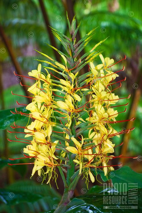 Kahili ginger flower (Hedychium gardnerianum), Hawai'i Volcanoes National Park, Kilauea, Big Island.