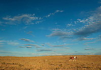 Horses roaming free. Navajo Nation, Northern AZ.