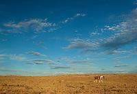 Horses roaming free. Navajo Nation, Northern AZ.