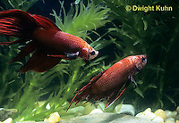 BY01-029z  Siamese Fighting Fish - male chasing and biting another male - Betta splendens