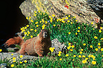 A yellow-bellied marmort (Marmota flaviventris) watches for predators while eating alpine avens along Trail Ridge Road in Rocky Mountain National Park, Colorado.