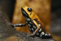 .Poison Frog (Ranitomeya), adult, Depart. Cundinamarca, Colombia