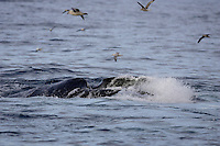 Humpback whale Megaptera novaeangliae lunge feeding on Capelin and krill near Spitzbergen Arctic Norway