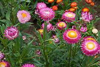 Strawflowers Helichrysum