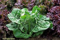 HS21-546x  Lettuce - Madrilene variety